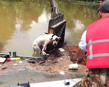 Ven a un pitbull que ha estado en el agua por una inundación durante 16 horas y sucede esto