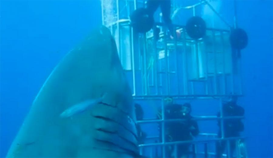 Esta es una grabación de un tiburón de 50 años que es llamado el tiburón más grande jamás filmado