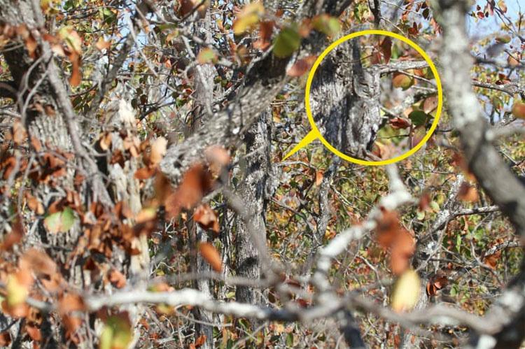 ¿Puedes encontrar al búho africano escondido entre los árboles de esta fotografía?