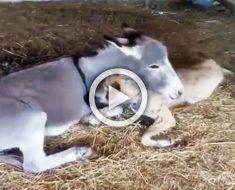 Este burro adopta a un perro discapacitado después de que otros perros no jugasen con él