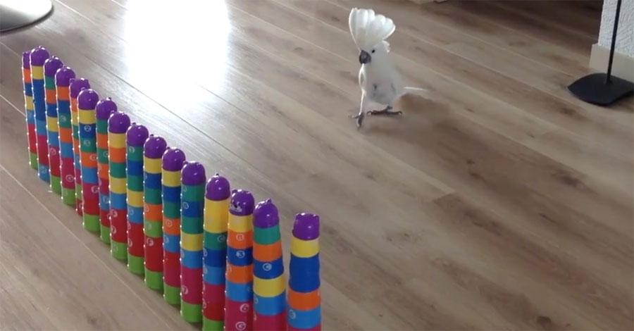 Esta adorable cacatúa cree que es el monstruo de una película destruyendo una ciudad. ¡Divertidísimo!