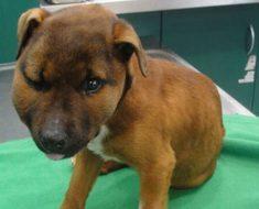 Sacrifican a este cachorro porque tenía 11 fracturas, varias en la cabeza, y 3 patas rotas