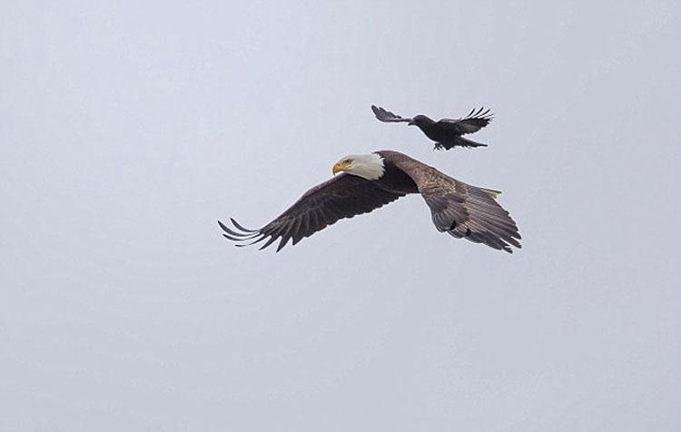 La imagen de este cuervo y un águila se ha hecho viral por una sorprendente razón