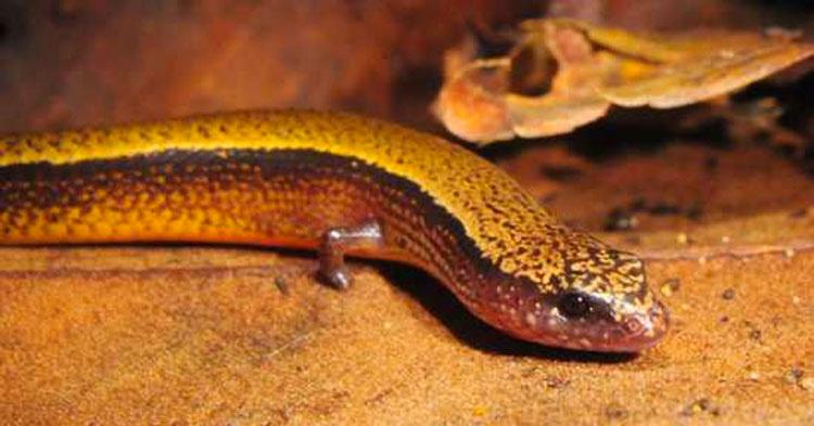 Esta serpiente tiene un par de minúsculos brazos. Pero eso no es lo más extraño de ella...