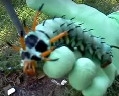 Estaba limpiando su jardín cuando encontró esta monstruosidad de oruga. ¿Habías visto algo así?