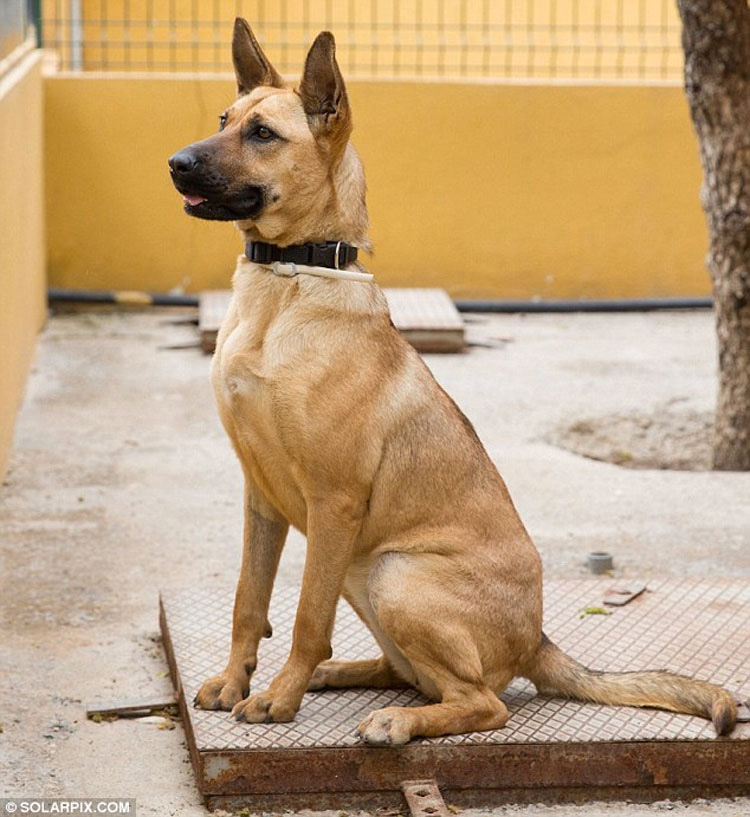 Un perrito muerto de hambre se derrumba mientras es rescatado, mira su transformación