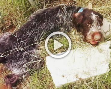 Este perro paralizado y maltratado da gracias a su rescatador con el gesto más emotivo