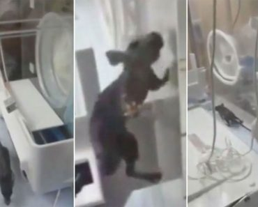 Filman a una rata en la incubadora de un bebé - entonces las cosas toman un giro aterrador