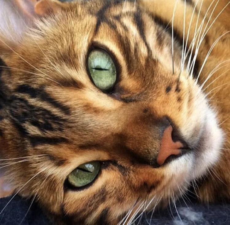 Este raro gato de Bengala tiene un patrón único de pelo que hace que parezca un mini tigre