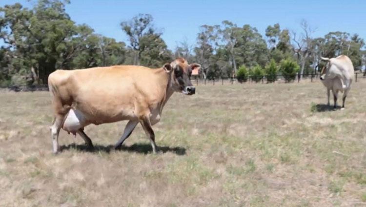 Se sorprenden cuando no pueden encontrar al bebé de una vaca, hasta que descubren la razón