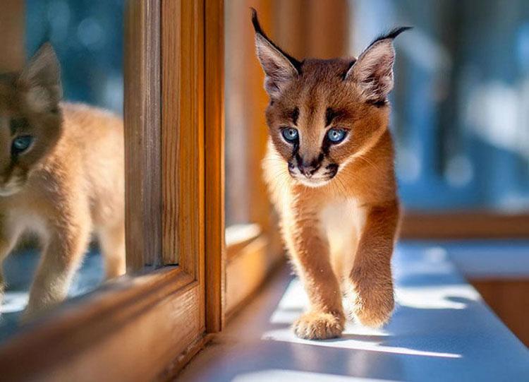 Esta podría ser la especie de felino más hermosa que has visto [20 FOTOS]