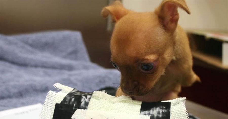 Este perrito sin patas delanteras fue abandonado y una desconocida la encuentra en una caja de cartón