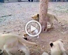 Cámara capta una reacción inesperada de un pequeño perrito frente a leones que le circundan