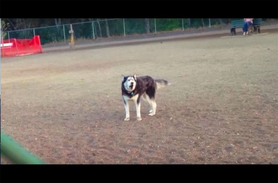 La rabieta de este husky cuando se entera de que es hora de dejar el parque se ha hecho viral...