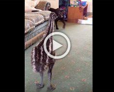 Este bebé emú lanza un hilarante ataque cuando un perro camina por la habitación