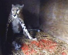 Esta madre guepardo da a luz cinco cachorros en el zoológico Metro de Richmond