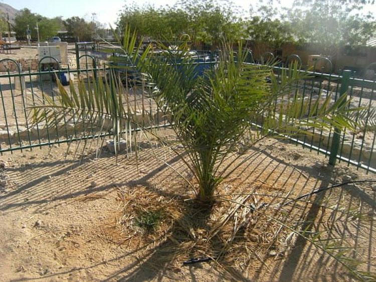 La ciencia está aturdida al ver crecer un árbol bíblico extinto de unas semillas de 2.000 años