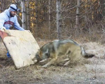Un hombre se encuentra un lobo salvaje en el bosque, se acerca y ve la terrible verdad