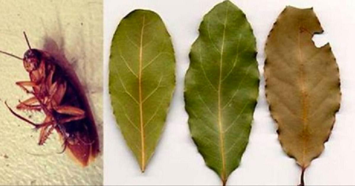 Coloca algunas de estas hojas en las esquinas de tu casa y nunca volverás a ver cucarachas