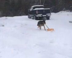 pastor-aleman-limpiando-nieve