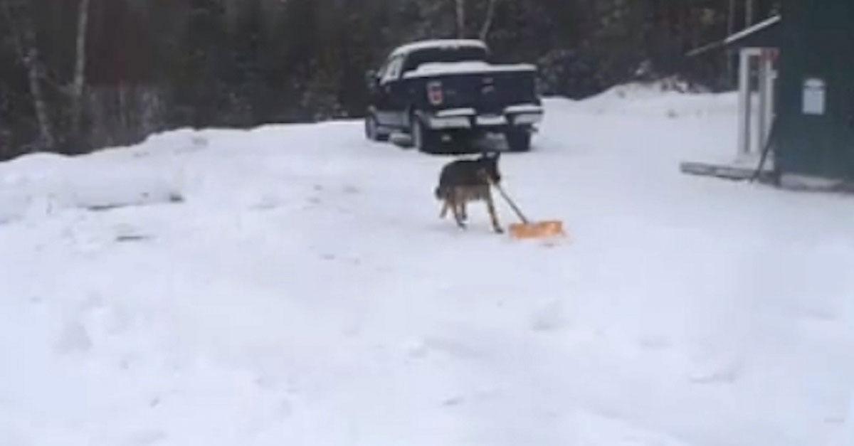 Comienza a grabar cuando su pastor alemán recoge una pala para ayudar a limpiar la nieve