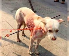 Este perro se recupera milagrosamente después de que le dispararan dos veces con flechas