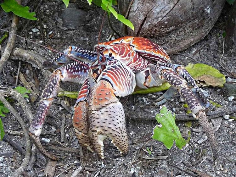 Se ha encontrado una aterradora teoría sobre los cangrejos cocoteros - Y no es agradable