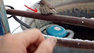 Encuentra a un pájaro con las patas congeladas y pegadas a una tubería. Su ingenioso rescate se hace viral