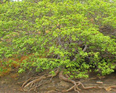 """Es el árbol más peligroso del mundo, por eso se le conoce como el """"árbol de la muerte"""""""