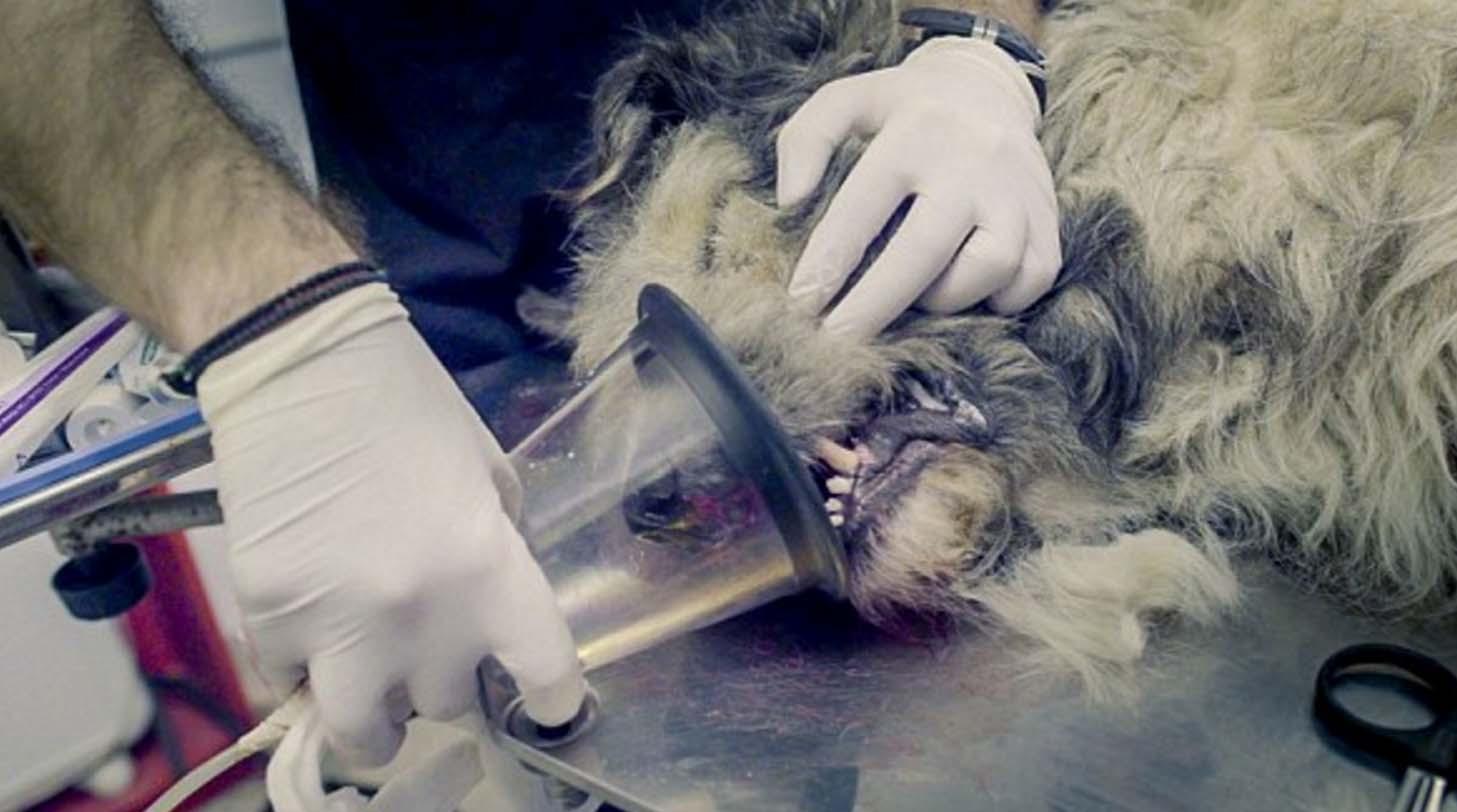El perro mutilado por el 'Carnicero de Bucarest' llega al Reino Unido. Este es su estado