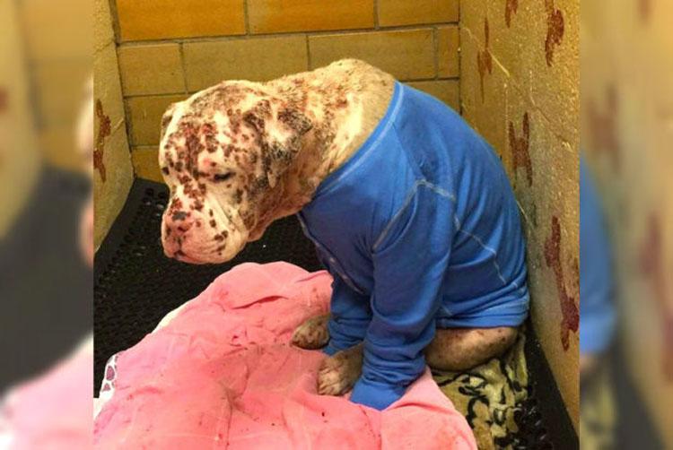 Cachorro abandonado que fue picado por 1.000 abejas está irreconocible después de darle una segunda oportunidad