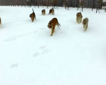 La triste verdad detrás de este video viral de los tigres que atacan a un drone