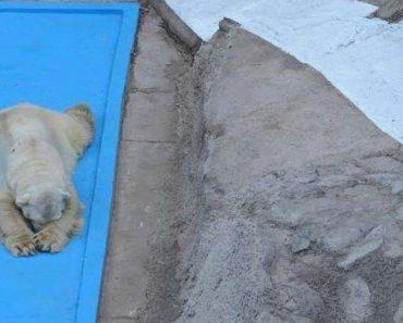 El oso polar más triste del mundo muere después de 22 años en un foso de hormigón 4