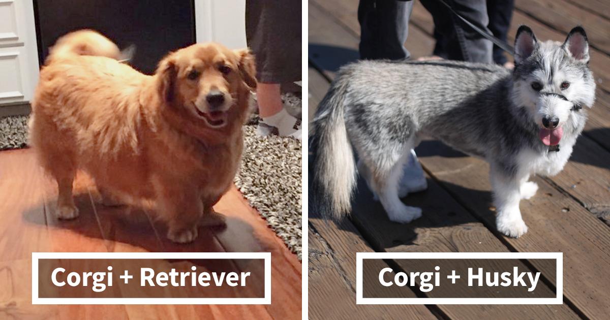 15 veces que un Corgi fue mezclado con otras razas, y el resultado fue absolutamente asombroso