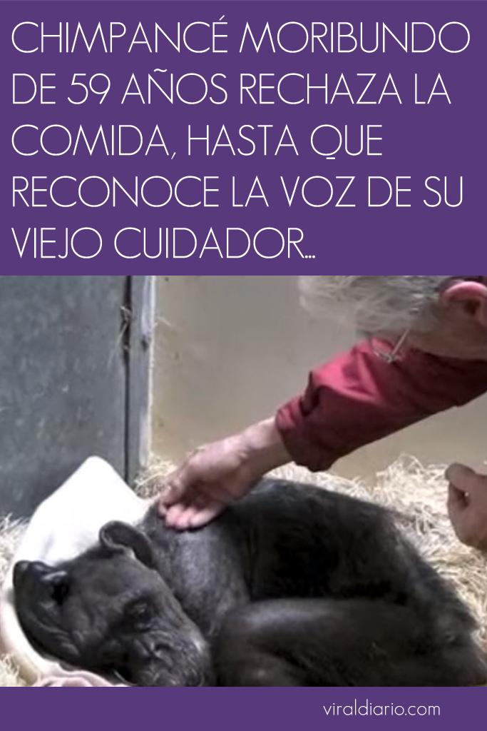 Chimpancé moribunda de 59 años rechaza la comida, hasta que reconoce la voz de su viejo cuidador