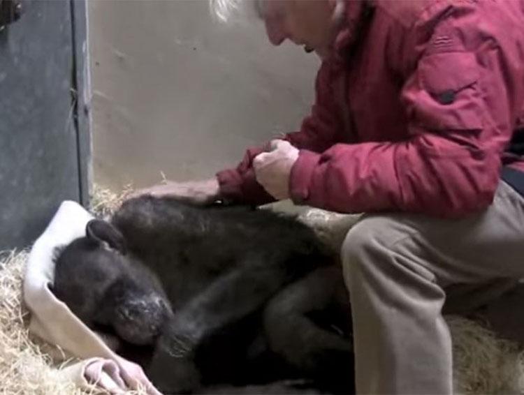 Chimpancé moribundo de 59 años rechaza la comida, hasta que reconoce la voz de su viejo cuidador